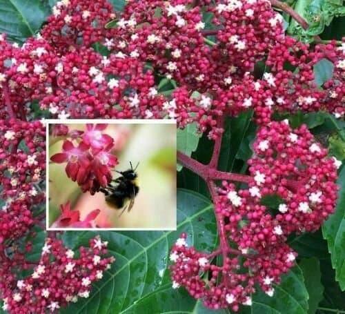 Bienenbaum-Pflanze (Euodia hupehensis) ca.