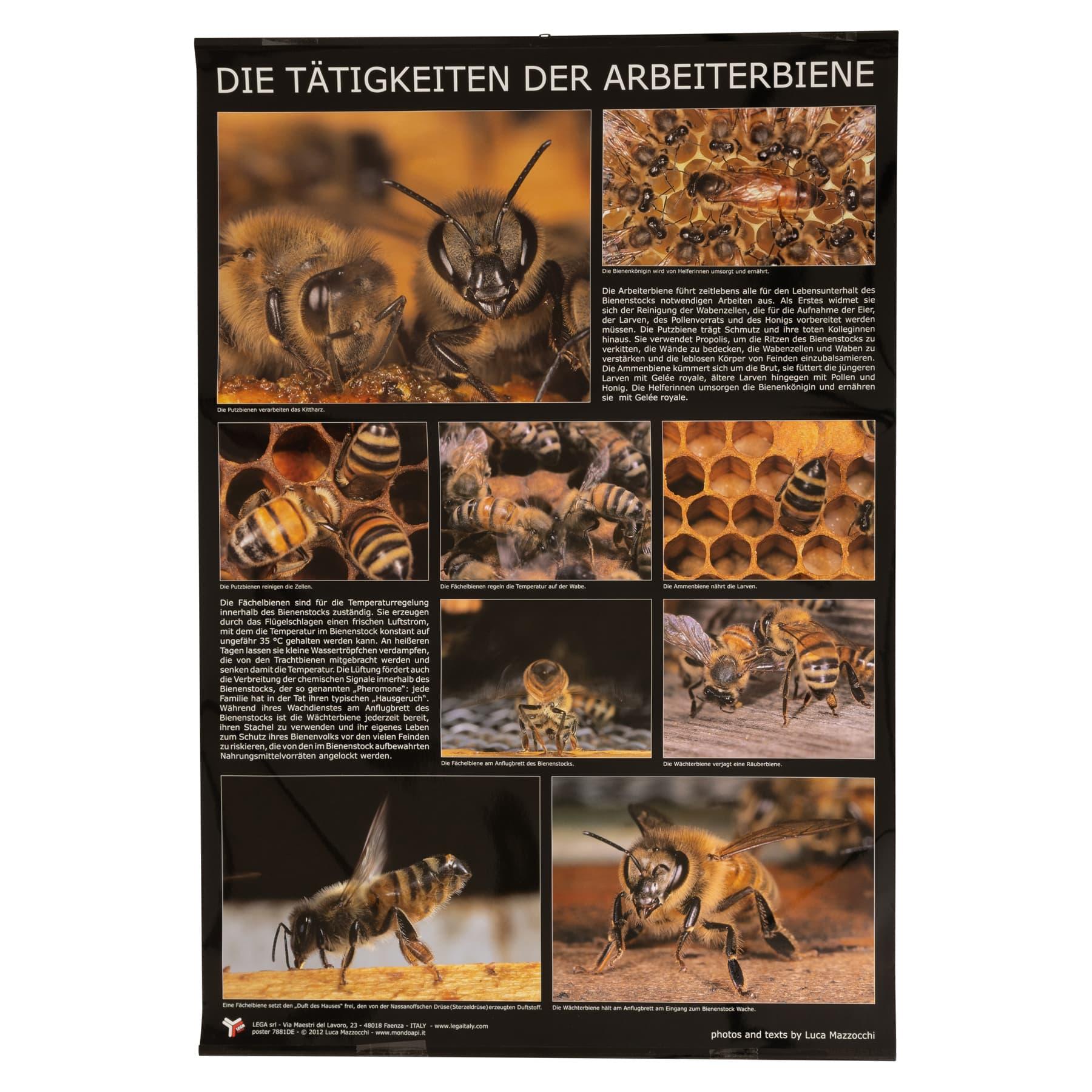 """Plakat/Poster """"Die Tätigkeiten der Arbeiterbiene""""  60 cm breit 90 cm hoch"""