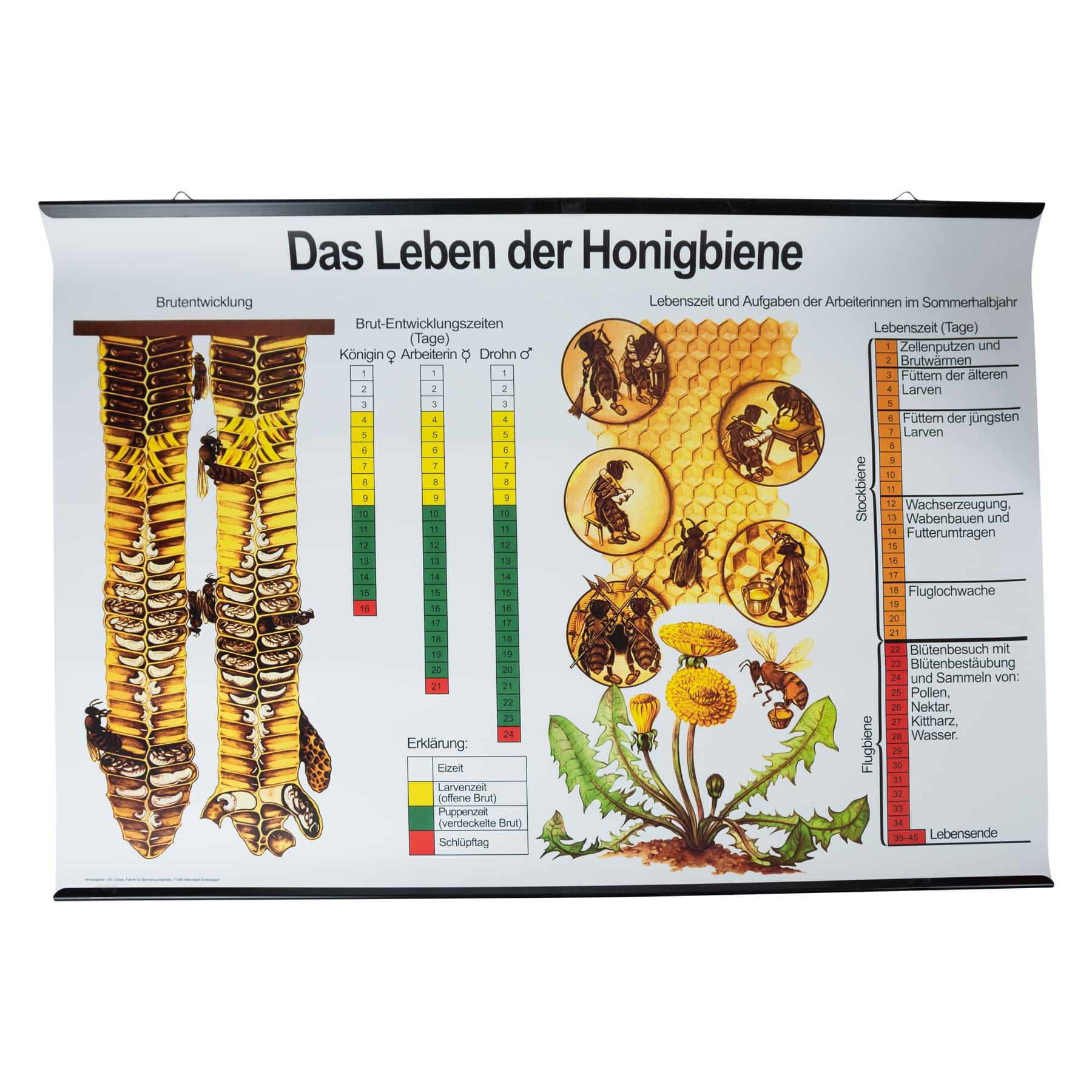 """Plakat """"Das Leben der Honigbiene"""" englisch"""